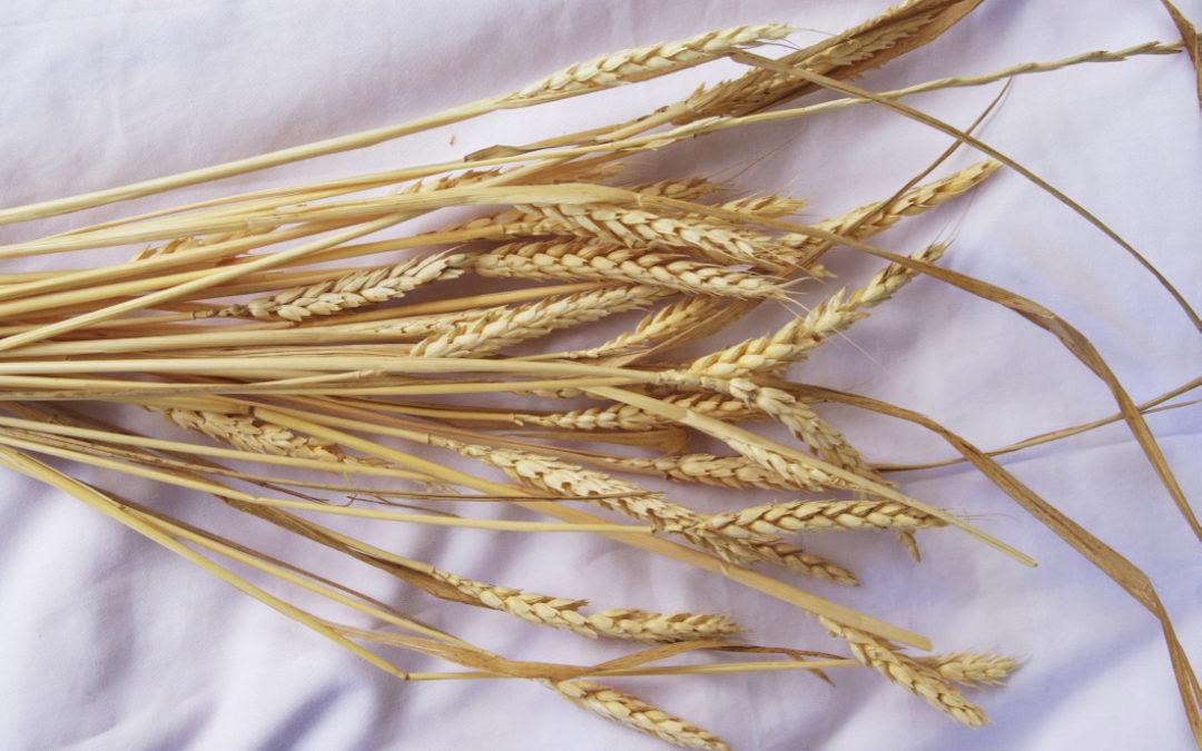 Grain, Seeds, Wheat