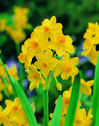 Consider the Jonquils…